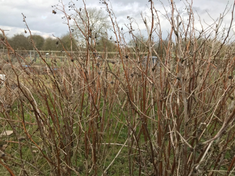 old raspberry canes