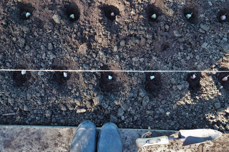 garlic, planting, allotment