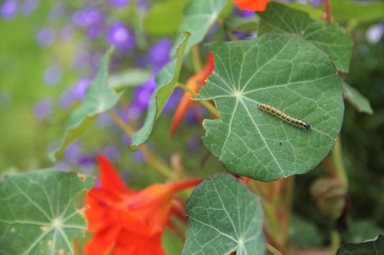 cabbage white caterpillar