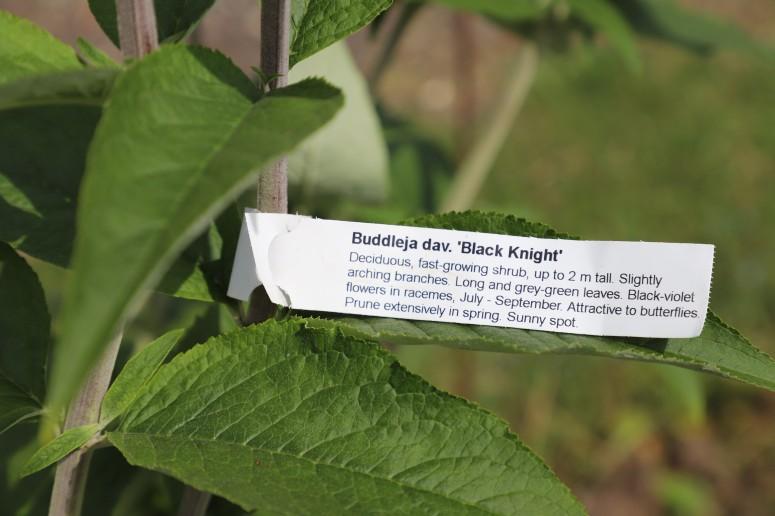 buddleia, butterfly bush
