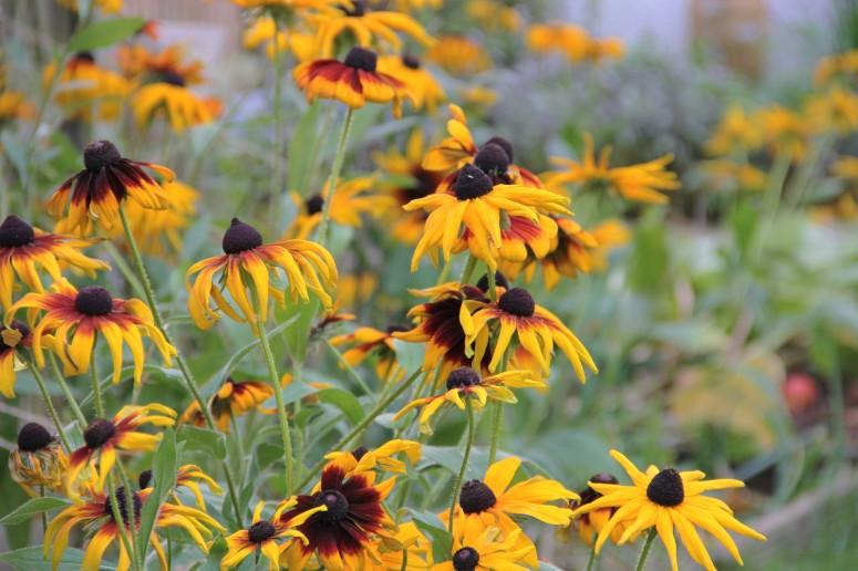 rudbeckia gloriosa daisies