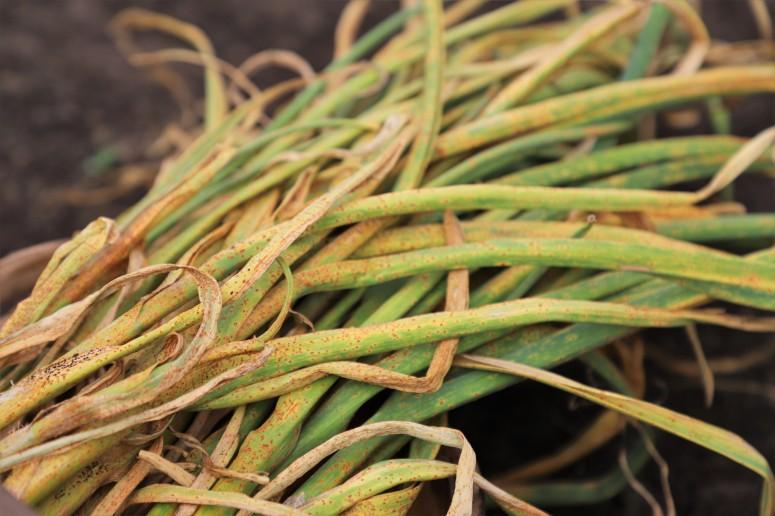 leek rust on garlic, garlic with leek rust