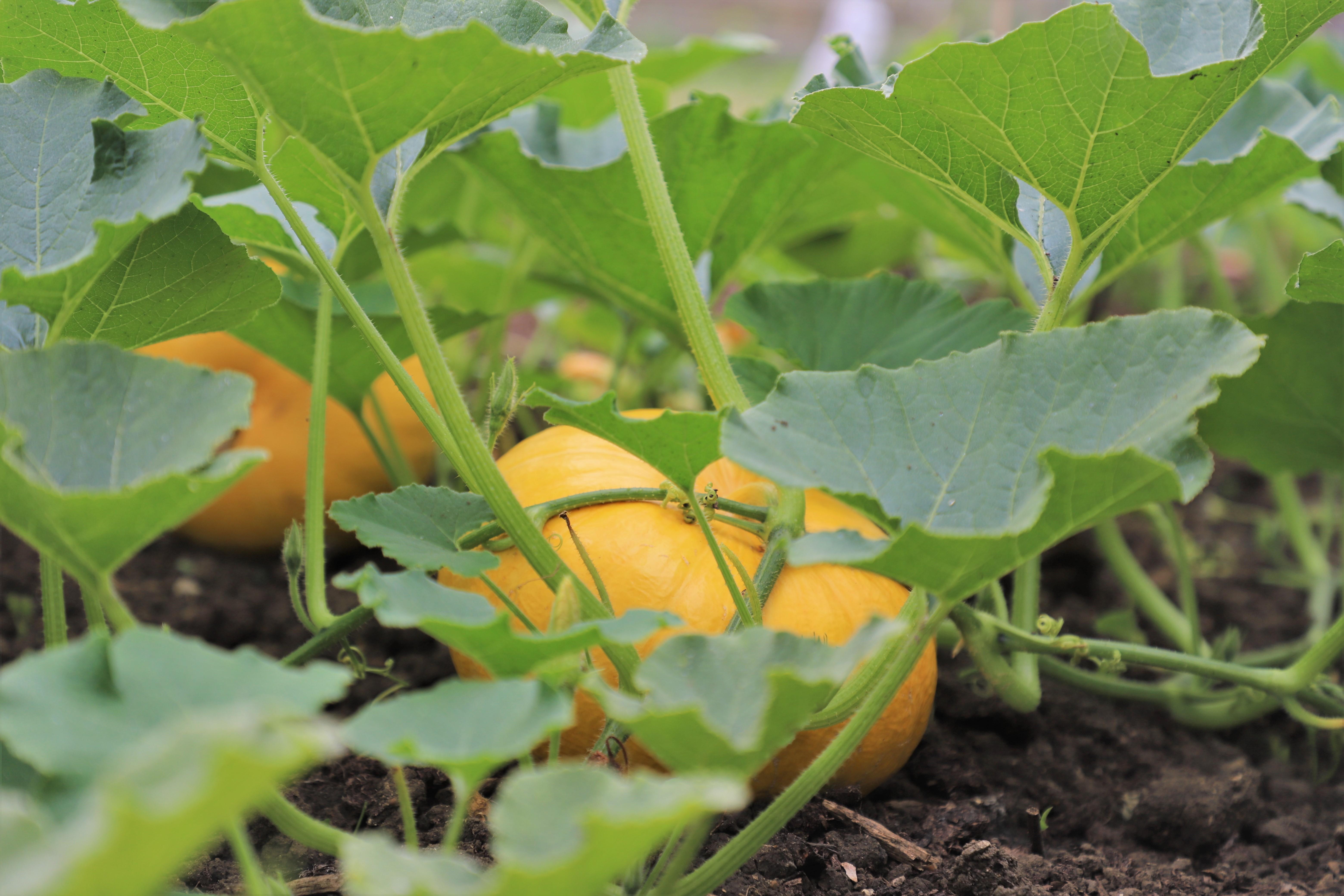 pumpkin patch, pumpkins, pumpkin