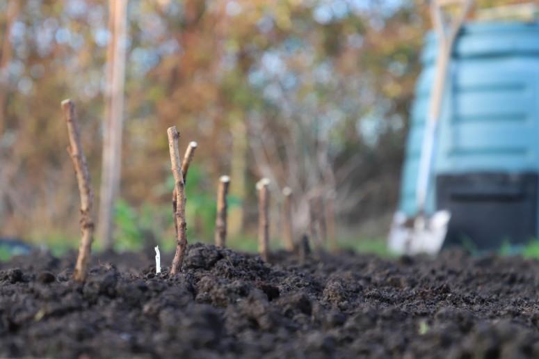 planting raspberry canes